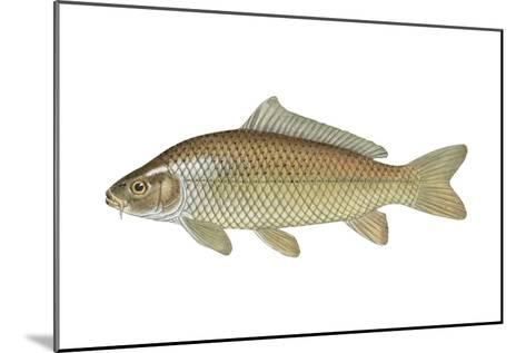 Carp (Cyprinus Carpio), Fishes-Encyclopaedia Britannica-Mounted Art Print