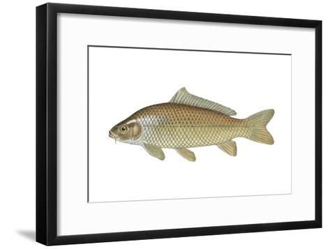 Carp (Cyprinus Carpio), Fishes-Encyclopaedia Britannica-Framed Art Print