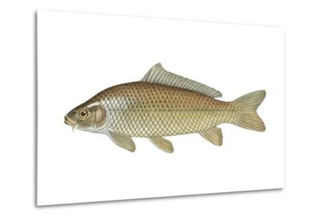 Carp (Cyprinus Carpio), Fishes-Encyclopaedia Britannica-Metal Print