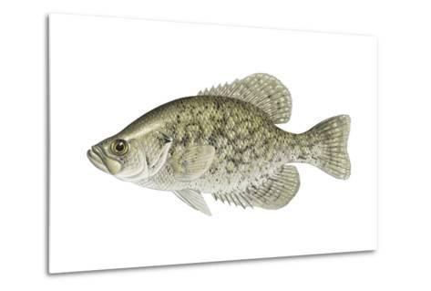 Black Crappie (Pomoxis Nigromaculatus), Fishes-Encyclopaedia Britannica-Metal Print