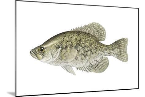 Black Crappie (Pomoxis Nigromaculatus), Fishes-Encyclopaedia Britannica-Mounted Art Print
