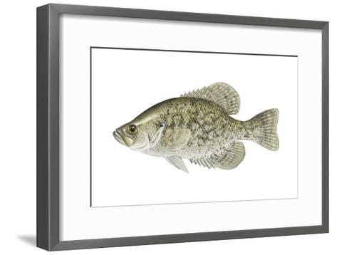 Black Crappie (Pomoxis Nigromaculatus), Fishes-Encyclopaedia Britannica-Framed Art Print
