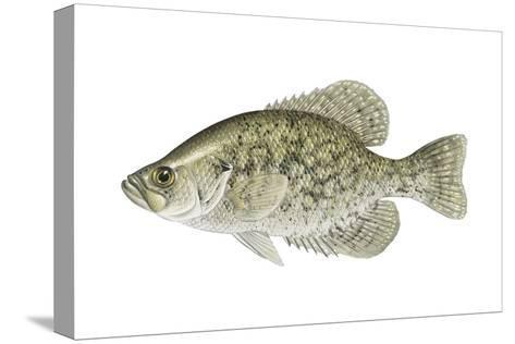 Black Crappie (Pomoxis Nigromaculatus), Fishes-Encyclopaedia Britannica-Stretched Canvas Print
