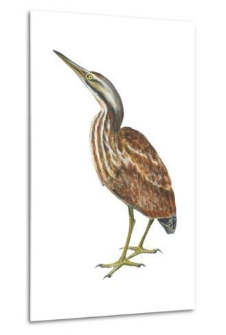 American Bittern (Botaurus Lentiginosus), Birds-Encyclopaedia Britannica-Metal Print