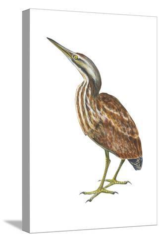American Bittern (Botaurus Lentiginosus), Birds-Encyclopaedia Britannica-Stretched Canvas Print