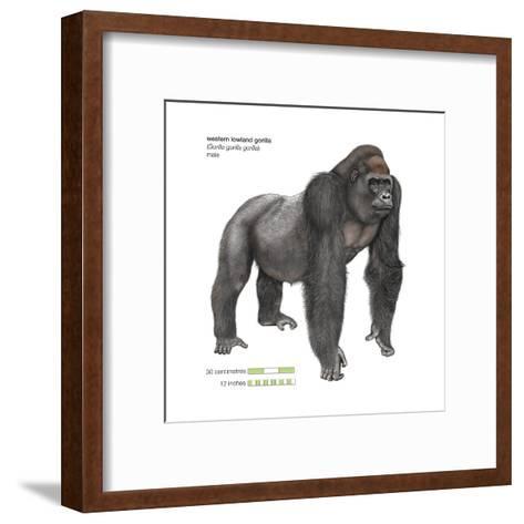Male Western Lowland Gorilla (Gorilla Gorilla Gorilla), Ape, Mammals-Encyclopaedia Britannica-Framed Art Print