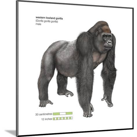 Male Western Lowland Gorilla (Gorilla Gorilla Gorilla), Ape, Mammals-Encyclopaedia Britannica-Mounted Art Print
