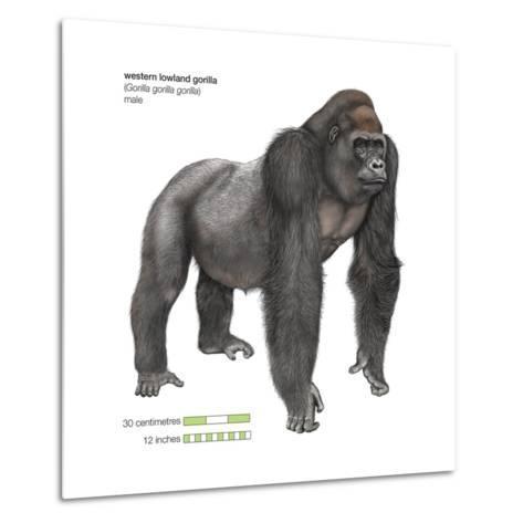 Male Western Lowland Gorilla (Gorilla Gorilla Gorilla), Ape, Mammals-Encyclopaedia Britannica-Metal Print