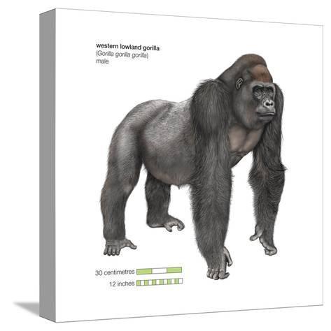 Male Western Lowland Gorilla (Gorilla Gorilla Gorilla), Ape, Mammals-Encyclopaedia Britannica-Stretched Canvas Print