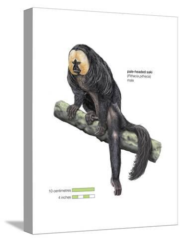 Male Pale-Headed Saki (Pithecia Pithecia), Monkey, Mammals-Encyclopaedia Britannica-Stretched Canvas Print