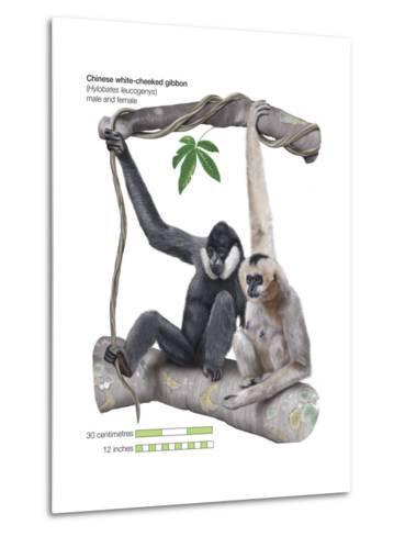 Male and Female Chinese White-Cheeked Gibbon (Hylobates Leucogenys), Ape, Mammals-Encyclopaedia Britannica-Metal Print