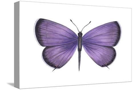 Eastern Tailed Blue Butterfly (Everes Comyntas), Insects-Encyclopaedia Britannica-Stretched Canvas Print