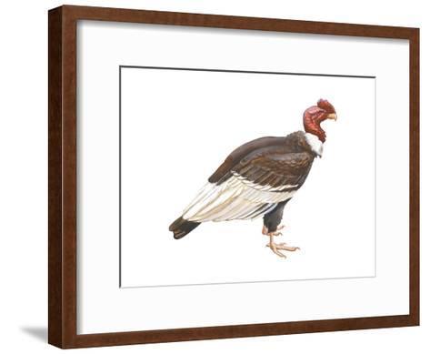 Andean Condor (Vultus Gryphus), Birds-Encyclopaedia Britannica-Framed Art Print
