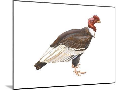 Andean Condor (Vultus Gryphus), Birds-Encyclopaedia Britannica-Mounted Art Print