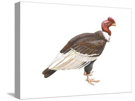 Andean Condor (Vultus Gryphus), Birds-Encyclopaedia Britannica-Stretched Canvas Print