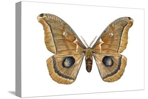 Polyphemus Moth (Telea Polyphemus), Insects-Encyclopaedia Britannica-Stretched Canvas Print