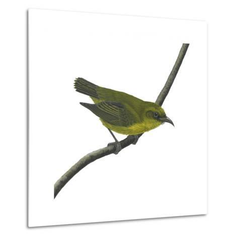 Amakihi (Loxops Virens), Birds-Encyclopaedia Britannica-Metal Print