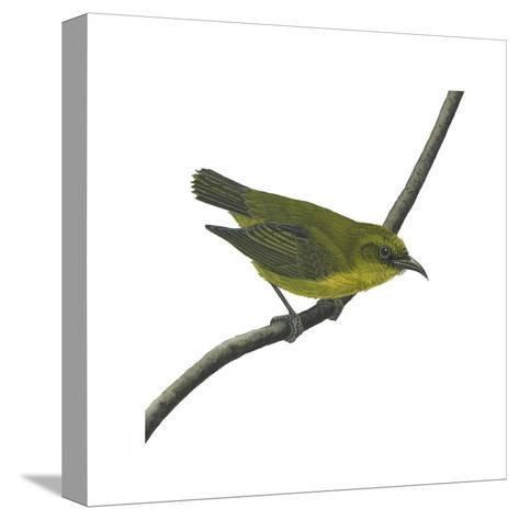 Amakihi (Loxops Virens), Birds-Encyclopaedia Britannica-Stretched Canvas Print