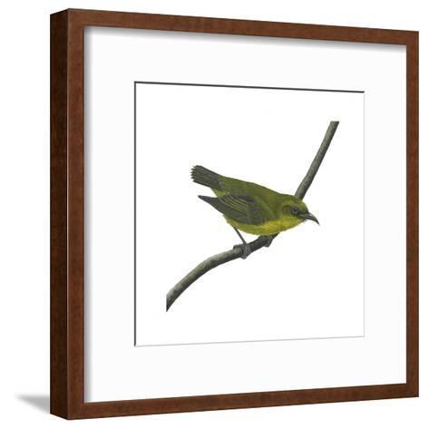 Amakihi (Loxops Virens), Birds-Encyclopaedia Britannica-Framed Art Print