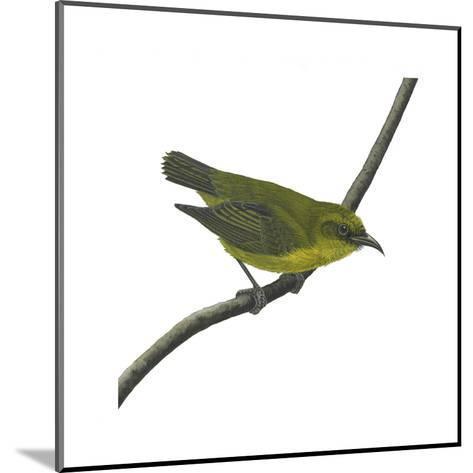 Amakihi (Loxops Virens), Birds-Encyclopaedia Britannica-Mounted Art Print