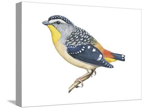 Spotted Diamondbird (Pardalotus Punctatus), Birds-Encyclopaedia Britannica-Stretched Canvas Print