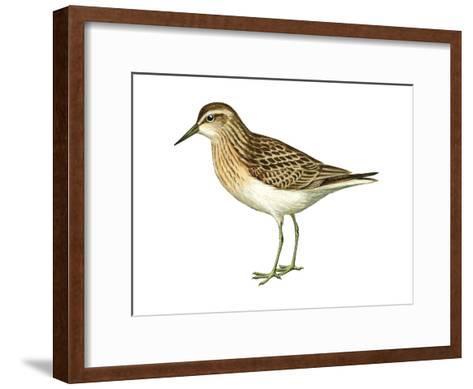Least Sandpiper (Calidris Minutilla), Birds-Encyclopaedia Britannica-Framed Art Print