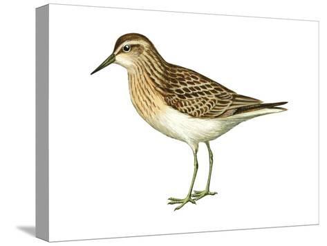 Least Sandpiper (Calidris Minutilla), Birds-Encyclopaedia Britannica-Stretched Canvas Print