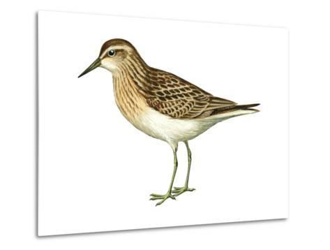 Least Sandpiper (Calidris Minutilla), Birds-Encyclopaedia Britannica-Metal Print