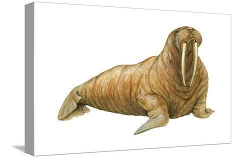 Walrus (Odobenus Rosmarus), Mammals-Encyclopaedia Britannica-Stretched Canvas Print