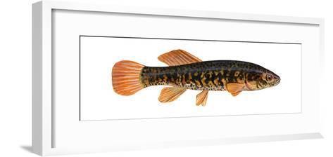 Mudminnow (Umbra Limi), Fishes-Encyclopaedia Britannica-Framed Art Print