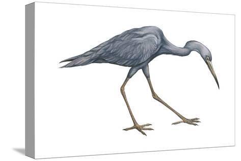 Little Blue Heron (Egretta Caerulea), Birds-Encyclopaedia Britannica-Stretched Canvas Print