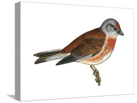 Linnet (Carduelis Cannabina), Birds-Encyclopaedia Britannica-Stretched Canvas Print