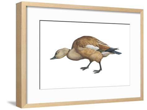Ruddy Shelduck (Casarca Ferruginea), Duck, Birds-Encyclopaedia Britannica-Framed Art Print