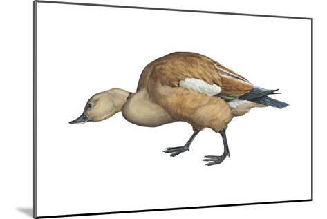 Ruddy Shelduck (Casarca Ferruginea), Duck, Birds-Encyclopaedia Britannica-Mounted Art Print