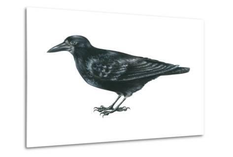 Rook (Corvus Frugilegus), Birds-Encyclopaedia Britannica-Metal Print