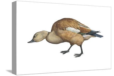 Ruddy Shelduck (Casarca Ferruginea), Duck, Birds-Encyclopaedia Britannica-Stretched Canvas Print