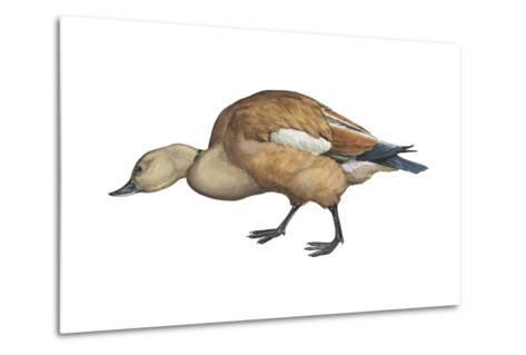 Ruddy Shelduck (Casarca Ferruginea), Duck, Birds-Encyclopaedia Britannica-Metal Print