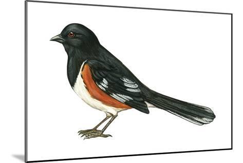 Rufous-Sided Towhee (Pipilo Erythrophthalmus), Birds-Encyclopaedia Britannica-Mounted Art Print