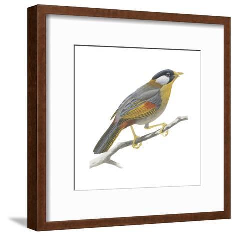 Silver-Eared Mesia (Leiothrix Argentauris), Birds-Encyclopaedia Britannica-Framed Art Print