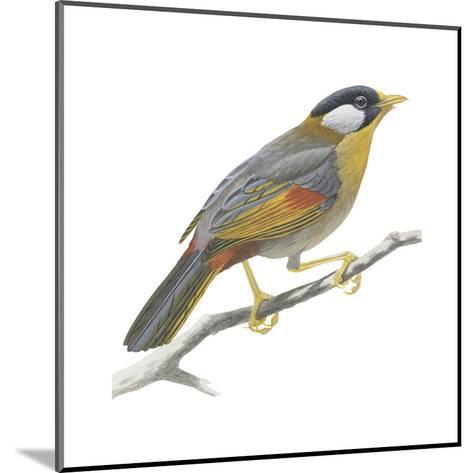 Silver-Eared Mesia (Leiothrix Argentauris), Birds-Encyclopaedia Britannica-Mounted Art Print