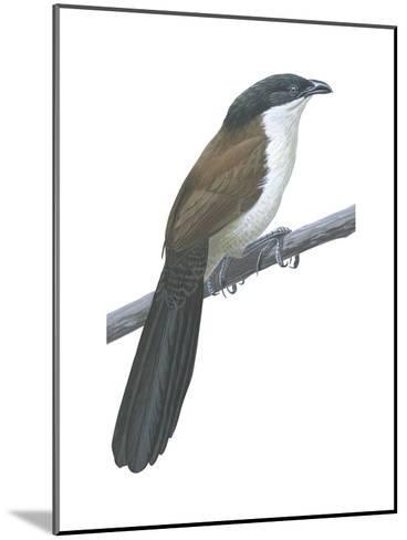Senegal Coucal (Centropus Senegalensis), Birds-Encyclopaedia Britannica-Mounted Art Print