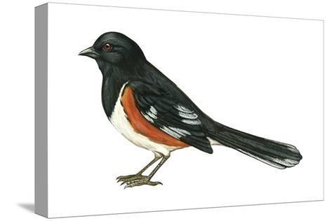 Rufous-Sided Towhee (Pipilo Erythrophthalmus), Birds-Encyclopaedia Britannica-Stretched Canvas Print