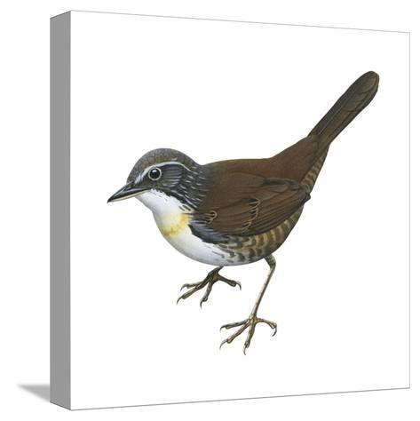 Rusty-Belted Tapaculo (Liosceles Thoracicus), Birds-Encyclopaedia Britannica-Stretched Canvas Print
