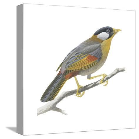 Silver-Eared Mesia (Leiothrix Argentauris), Birds-Encyclopaedia Britannica-Stretched Canvas Print