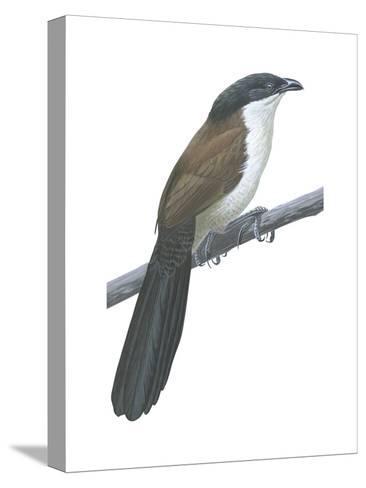 Senegal Coucal (Centropus Senegalensis), Birds-Encyclopaedia Britannica-Stretched Canvas Print