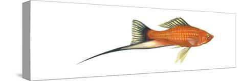 Swordtail Platy (Hybrid Cross of Xiphophorus Maculatus and Xiphophorus Helleri), Fishes-Encyclopaedia Britannica-Stretched Canvas Print