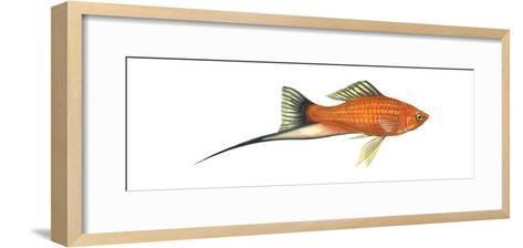 Swordtail Platy (Hybrid Cross of Xiphophorus Maculatus and Xiphophorus Helleri), Fishes-Encyclopaedia Britannica-Framed Art Print