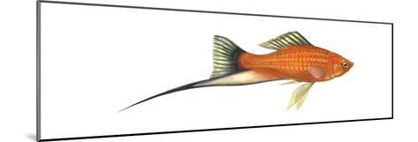 Swordtail Platy (Hybrid Cross of Xiphophorus Maculatus and Xiphophorus Helleri), Fishes-Encyclopaedia Britannica-Mounted Art Print