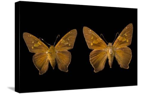 Two Zesto's Skippers on Pins at the Mcguire Center for Lepidoptera and Biodiversity-Joel Sartore-Stretched Canvas Print