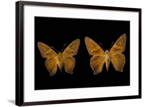 Two Zesto's Skippers on Pins at the Mcguire Center for Lepidoptera and Biodiversity-Joel Sartore-Framed Art Print